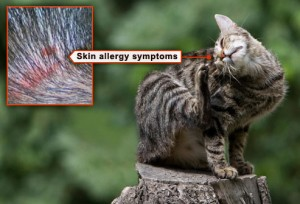 webmd_rm_photo_of_cat_scratching_flea_allergy_on_neck